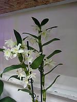 Горшечное растение Орхидея Дендробиум