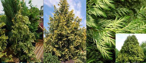 Туя Западная Zebrina / Thuja occidentalis Zebrina, фото 2