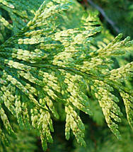 Туя Западная Zebrina / Thuja occidentalis Zebrina, фото 3