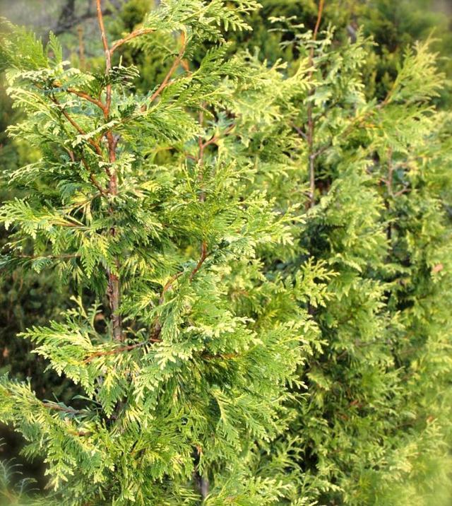 Туя Западная Zebrina / Thuja occidentalis Zebrina (фото 4)