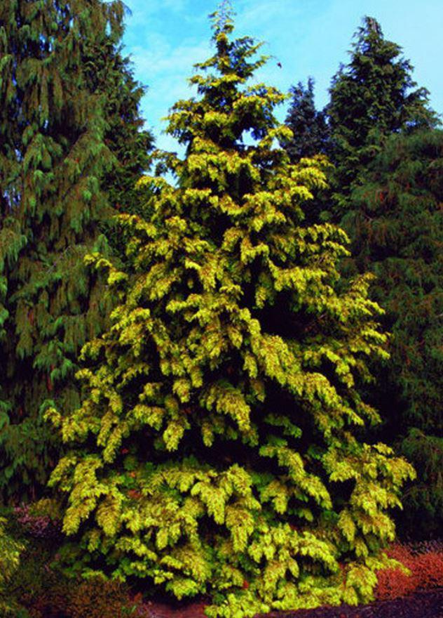 Туя Западная Zebrina / Thuja occidentalis Zebrina (фото 5)