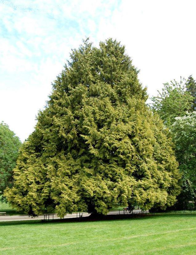 Туя Западная Zebrina / Thuja occidentalis Zebrina (фото 6)