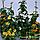 Тунбергия Черноглазая Сюзанна, смесь, фото 2