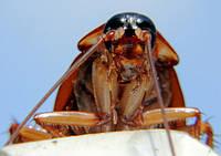 Тараканы и прусаки в доме или квартире. Что нужно знать, чтобы с ними бороться?