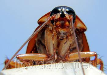 Тараканы и прусаки в доме или квартире
