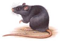 Возможно ли победить крыс своими силами?