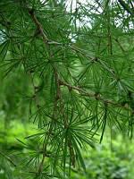 Лиственница Европейская.Высота  2,2-2,5 м. Larix decidua