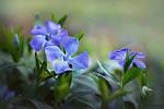 Полезные свойства растений-символов украинской культуры