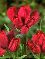 Луковицы тюльпанов  многоцветковых Silhouette Bouquet 3 шт