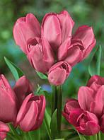 Луковицы тюльпанов  многоцветковых  Happy Family 3 шт