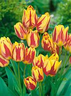 Луковицы тюльпанов  многоцветковых  Florette 3 шт