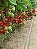 Семена томата Монсан F1 500 сем. Enza Zaden