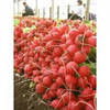 Семена редиса Селеста F1 50000 сем. (калибр 3 - 3,25 мм) Enza Zaden