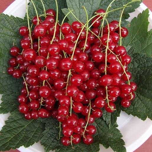 Саженцы красной смородины Валентиновка, ЗКС в горшках 0,8л
