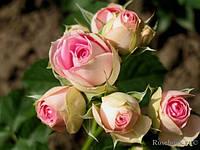 Роза спрей Mimi Eden (Мими Иден) класс А