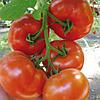 Семена томата Буран F1 500 семян Enza Zaden