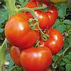 Семена томата Берберана F1 1000 семян Enza Zaden