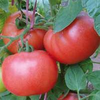 Семена томата Демироса F1 250 семян Enza Zaden