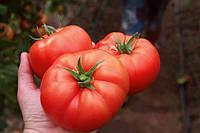 Семена томата Лезафорта F1 500 сем. Enza Zaden