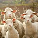 Шерстяное одеялo - Odeja Wool Medium Словения, фото 6
