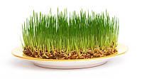 Гидролизат Пророщенной пшеницы - 50 мл. / 1 л