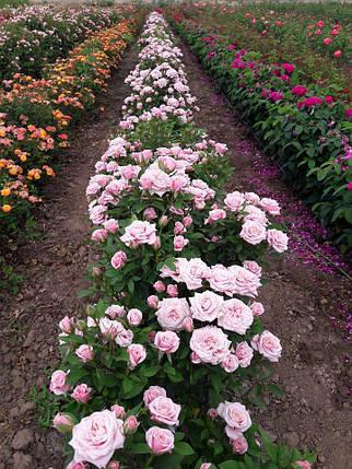 """Роза бордюрная  сорт """" розовый спрей"""" (саженец, высшего класса АА+), фото 2"""
