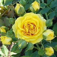 Роза бордюрная желтая сорт Сан Сити  ( саженцы )
