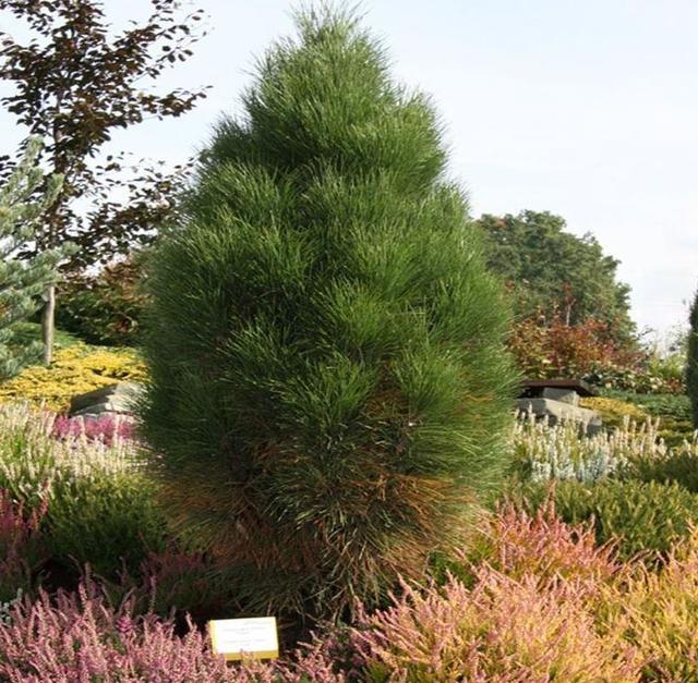 Сосна черная Piramidalis / Pinus nigra Piramidalis