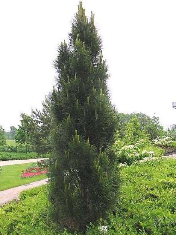 Сосна черная Piramidalis / Pinus nigra Piramidalis (фото 2)
