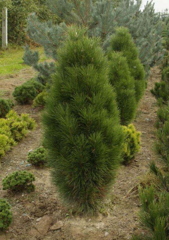 Сосна черная Piramidalis / Pinus nigra Piramidalis (фото 3)
