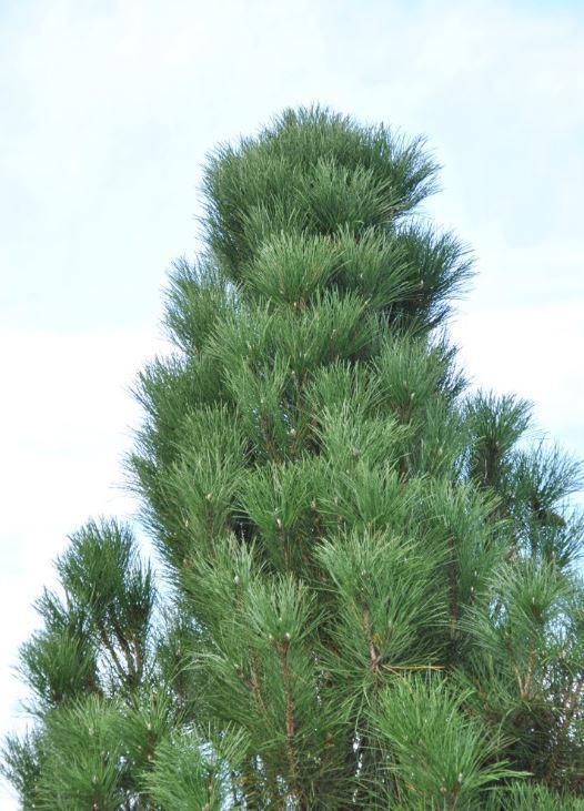 Сосна черная Piramidalis / Pinus nigra Piramidalis (фото 4)