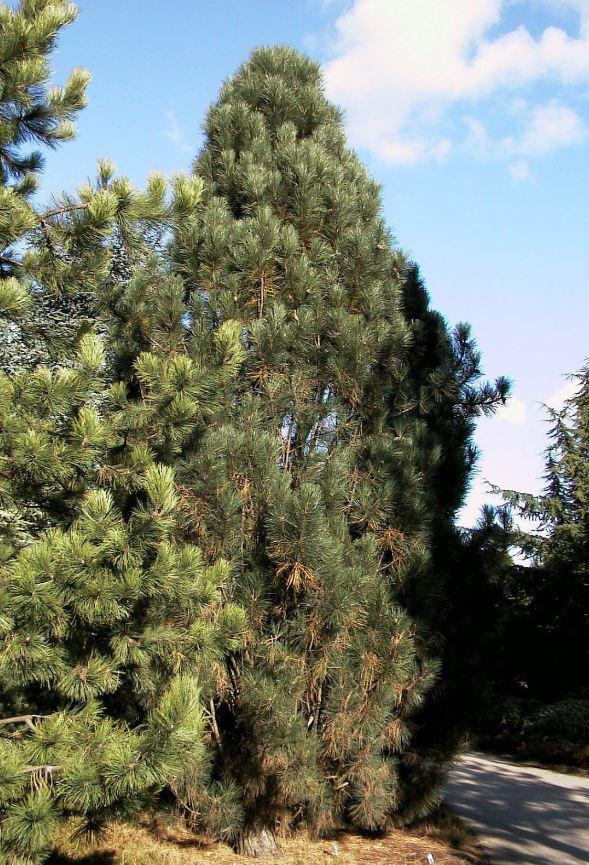 Сосна черная Piramidalis / Pinus nigra Piramidalis (фото 5)