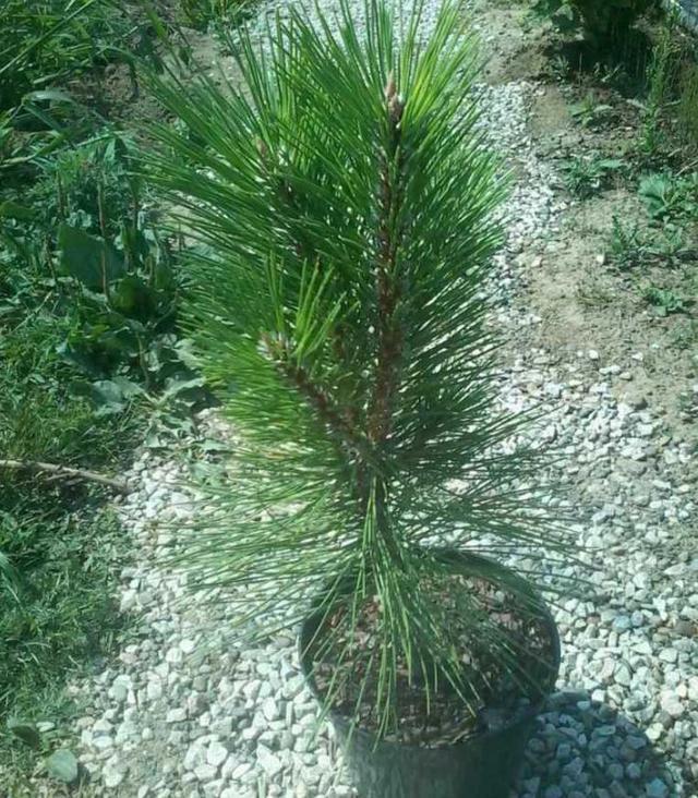 Сосна черная Piramidalis / Pinus nigra Piramidalis (фото 6)