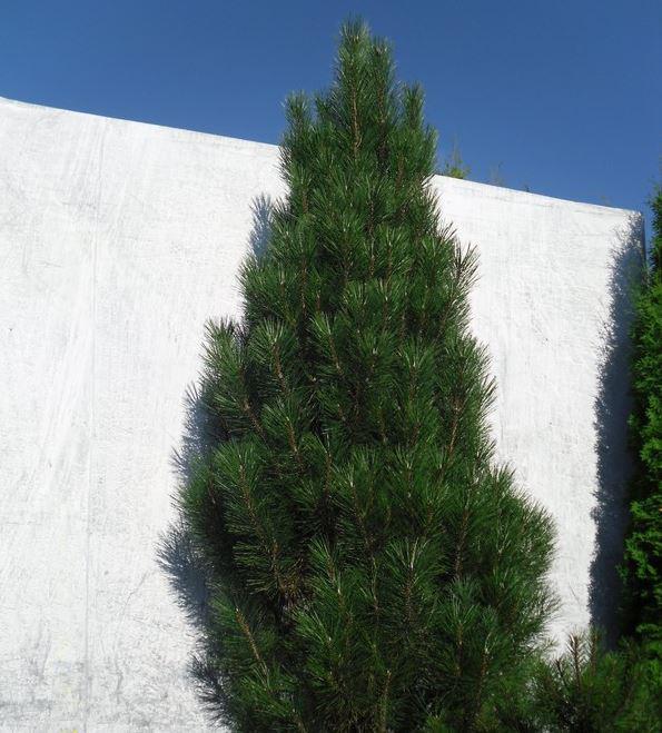 Сосна черная Piramidalis / Pinus nigra Piramidalis (фото 7)
