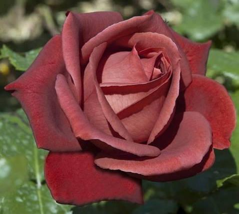 """Роза  Чайно-гибридная сорт """"Терракота"""" ( саженцы высшего качества, класс АА+ ), фото 2"""
