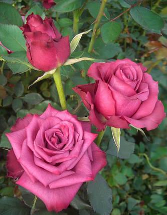"""Роза  Чайно-гибридная сорт """"Блу берри"""" ( саженцы высшего качества, класс АА+ ), фото 2"""