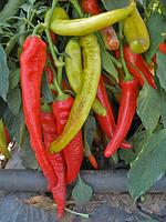 СЕМАРОГ / SEMAROH — перец сладкий, SEMO 1 000 семян