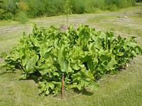 Как правильно выращивать хрен
