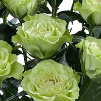 Роза спрей  Лувиана /Luviana