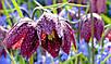 РЯБЧИК ШАХМАТНЫЙ (Fritillaria Meleagris), фото 4