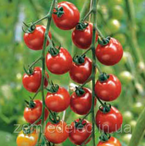 Семена томата Нектар F1 250 семян Enza Zaden
