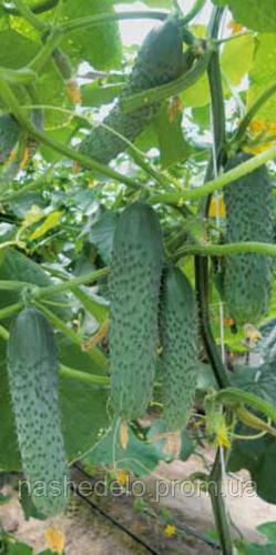 Семена огурца Гуннар F1 500 семян Enza Zaden