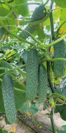 Семена огурца Гуннар F1 1000 семян Enza Zaden