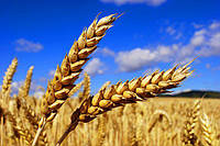 Технология выращивания озимых зерновых