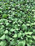 Семена баклажана Эстель F1, 100 семян, фото 3