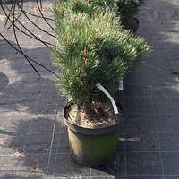 Сосна обыкновенная Ватерери. 40-50 см.