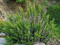 Розмарин / Speedy rosmarinus officinalis