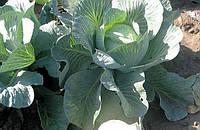 Семена капусты Тайфун F1, Bejo, 2500 семян