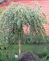 Береза Юнга Betula pendula 'Youngii' С-35  d-10-12