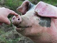 БВМД 10-15% (свиноматки), ЕС